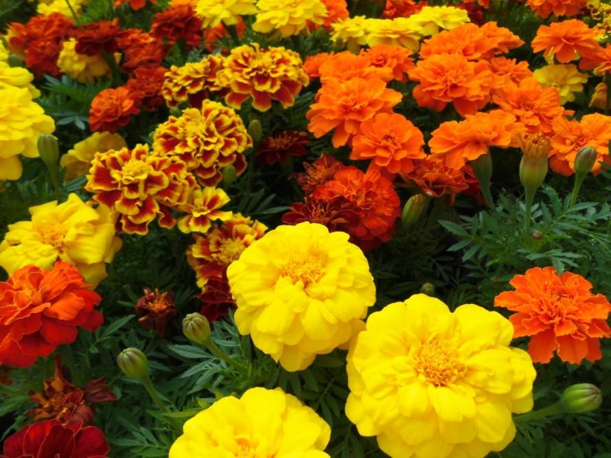 夏の暑さにも負けずに楽しめるお花マリーゴールドや暑さに強い日々草 ベゴニアやメランポジウムたくさん入荷しております 飯田市でお庭のことならなんでもお気軽にご相談ください