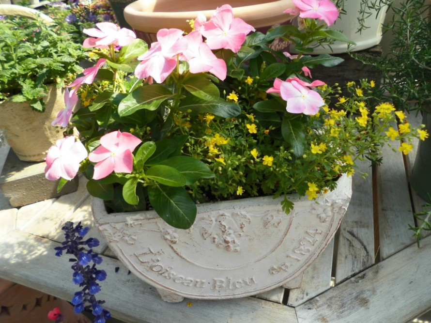 夏の暑さにも負けない日々草たくさん入荷しております 秋までしっかり楽しめて大きくなるコリウスも 寄せ植えに使っても花壇に植えても楽しめます アジサイも素敵なグリーンに色が変化してきました 飯田市でお庭のことなら何でもお気軽にご相談ください