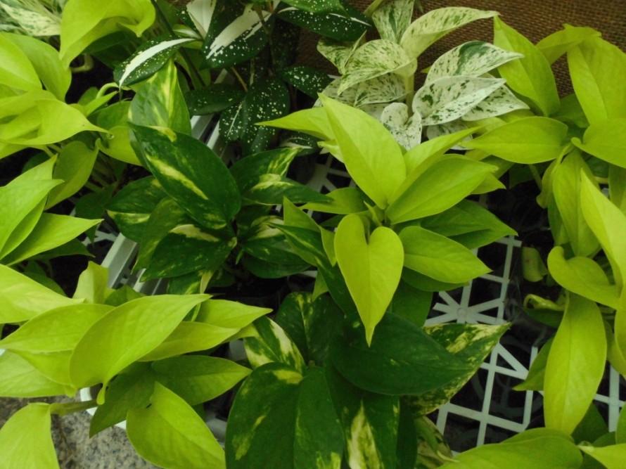 観葉植物の寄せ植えで暑い夏を涼し気に楽しめるポトスやヒポエステスなど入荷しております 飯田市でお庭の事ならなんでもお気軽にご相談ください