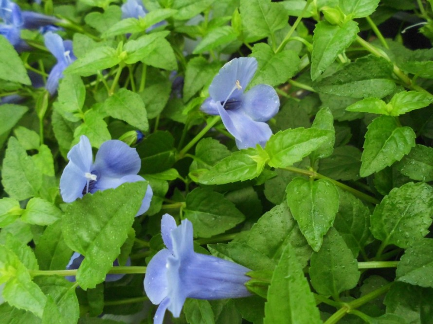 カラフルな観賞用トウガラシ 寄せ植えにするととっても可愛らしく秋まで長く楽しめます ペンタスも寄せ植えにおすすめで明るくて華やか トレニア 紫のお花が素敵 飯田市でお庭の事ならなんでもお気軽にご相談ください