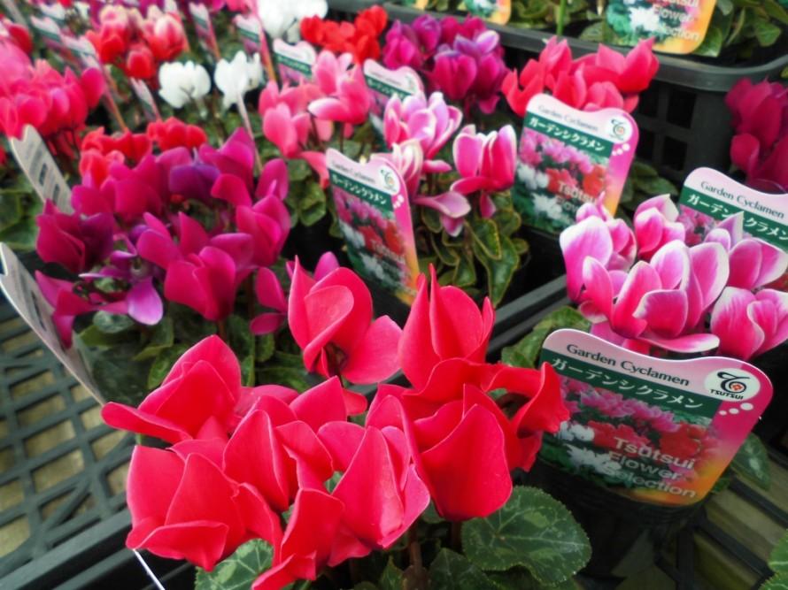 ガーデンシクラメン入荷してきました 霜よけすれば寒さにも強く長く楽しめます 花の少ない冬にしっかり楽しめます ガーデンシクラメンの寄せ植えもおすすめです 飯田市でお庭のことなら何でもお気軽にご相談ください