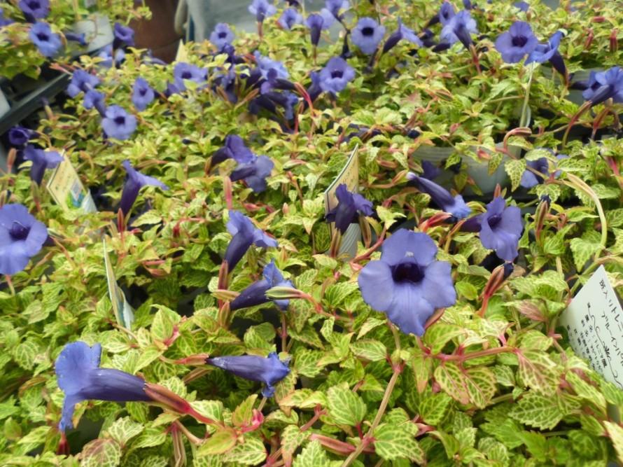 斑入りトレニアブルーインパルス アスタービクトリア アルテルナンセラ レッドフラッシュ などなど秋でも楽しめるお花続々入荷しております 寄せ植えや花壇にもおすすめの植物です 飯田市でお庭の事なら何でもお気軽にご相談ください