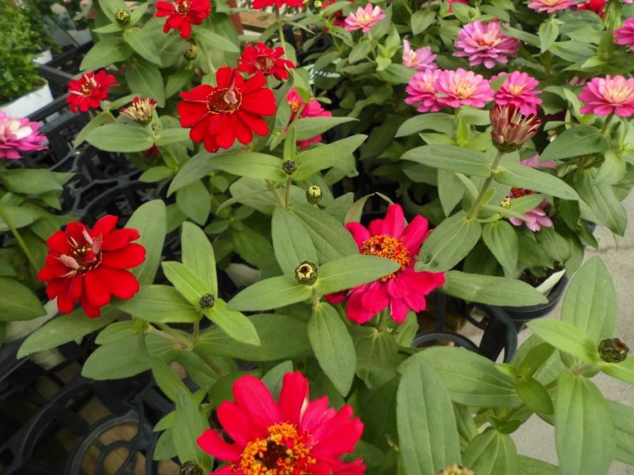 ジニア ガーデンシクラメン入荷してきました 霜よけすれば寒さにも強く長く楽しめます 花の少ない冬にしっかり楽しめます ガーデンシクラメンの寄せ植えもおすすめです 飯田市でお庭のことなら何でもお気軽にご相談ください