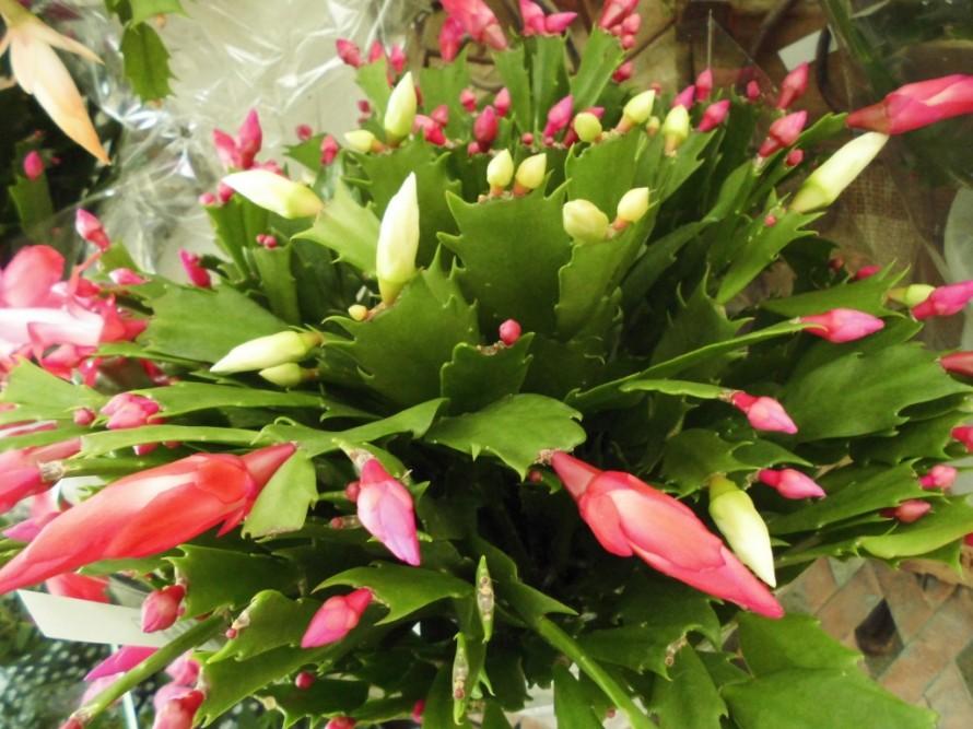 リンドウ ハナマキギンガブルー ベゴニア ラブミー ガーベラ ミニバラ シャコバサボテン パンジービオラ続々入荷中です 秋から春まで長く楽しめる寒さに強いお花です パンジービオラと一緒に球根を植えるのもおすすめ 可愛らしいチューリップやスノードロップ入荷しております 飯田市でお庭の事なら何でもお気軽にご相談ください