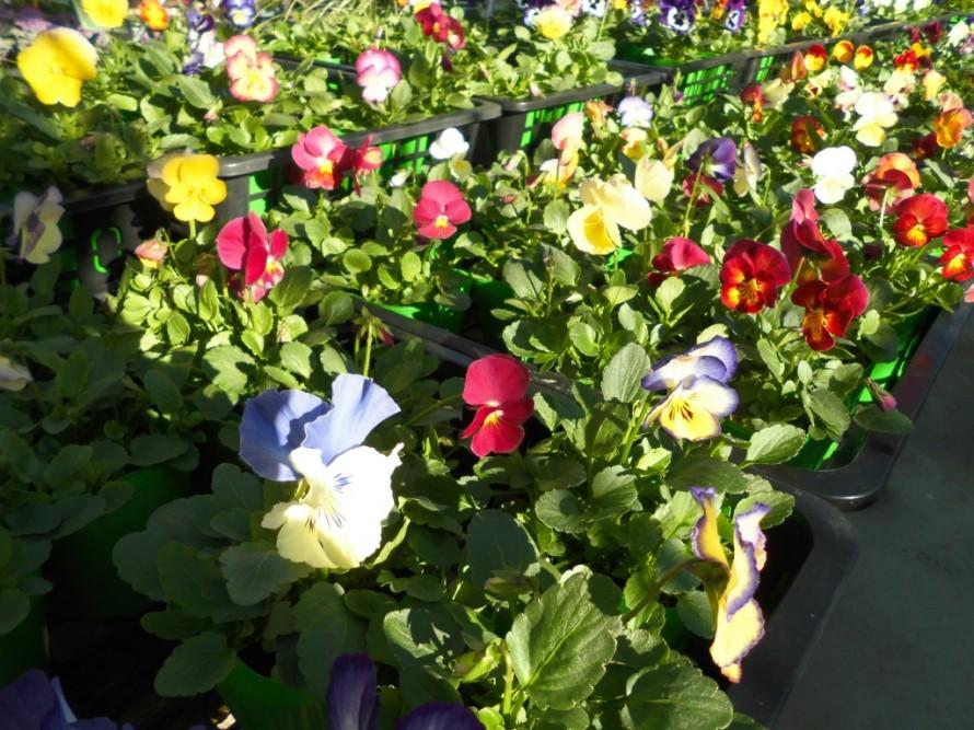 可愛いお花を楽しめるプリムラ キャンディ 冬のお庭で楽しめるパンジービオラ続々入荷中です 飯田市でお庭の事なら何でもお気軽にご相談ください ハボタンも続々入荷中 春まで楽しめるパンジー パンジービオラと一緒に球根はいかがです