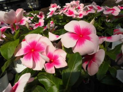 日々草ニルバーナ、飯田市庭つくり、外構工事、ガーデン、ガーデニング