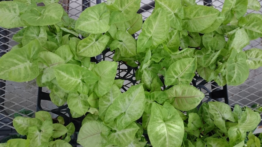シンゴニウム緑葉