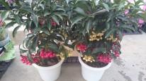 マンリョウ紅白植え