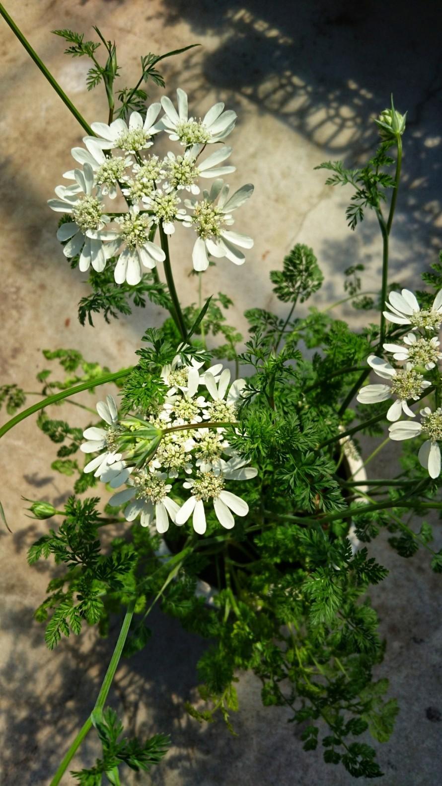 春のお花。オルラヤ。人気品種