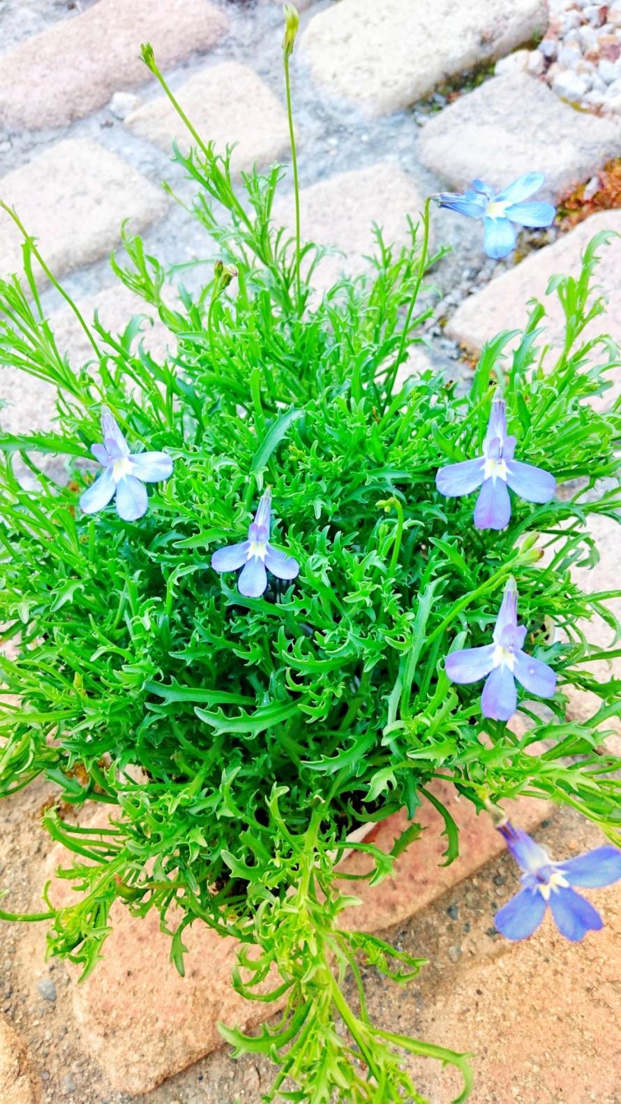 ロベリア。春のお花