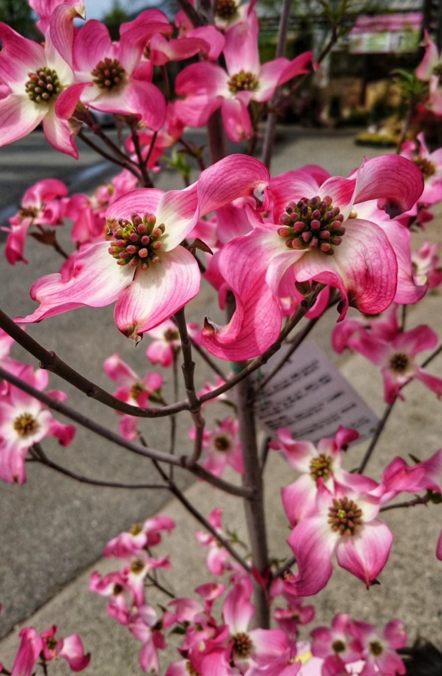 ハナミズキ。街路樹。飯田市でお庭の事なら何でもお気軽にご相談。