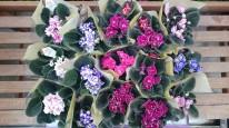 八重咲きセントポーリア