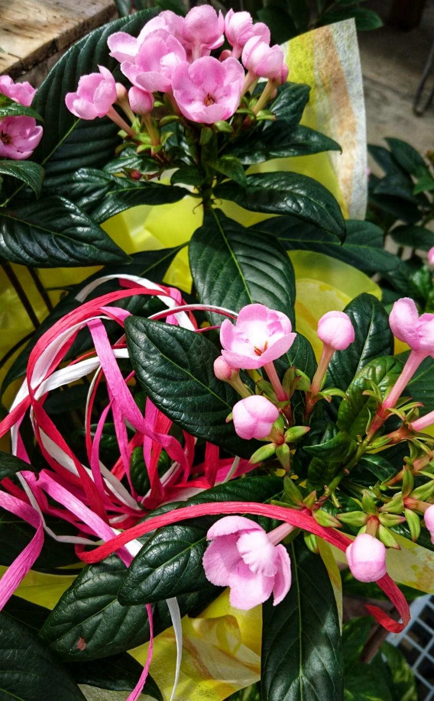 飯田市でお庭の事なら何でもお気軽にご相談。ニオイザクラ。ルクリア。いい香り。