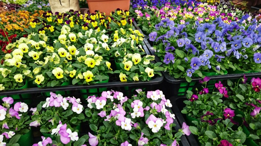 飯田市でお庭の事なら何でもお気軽にご相談。パンジー・ビオラ入荷。まだまだ入荷予定。今年も綺麗。